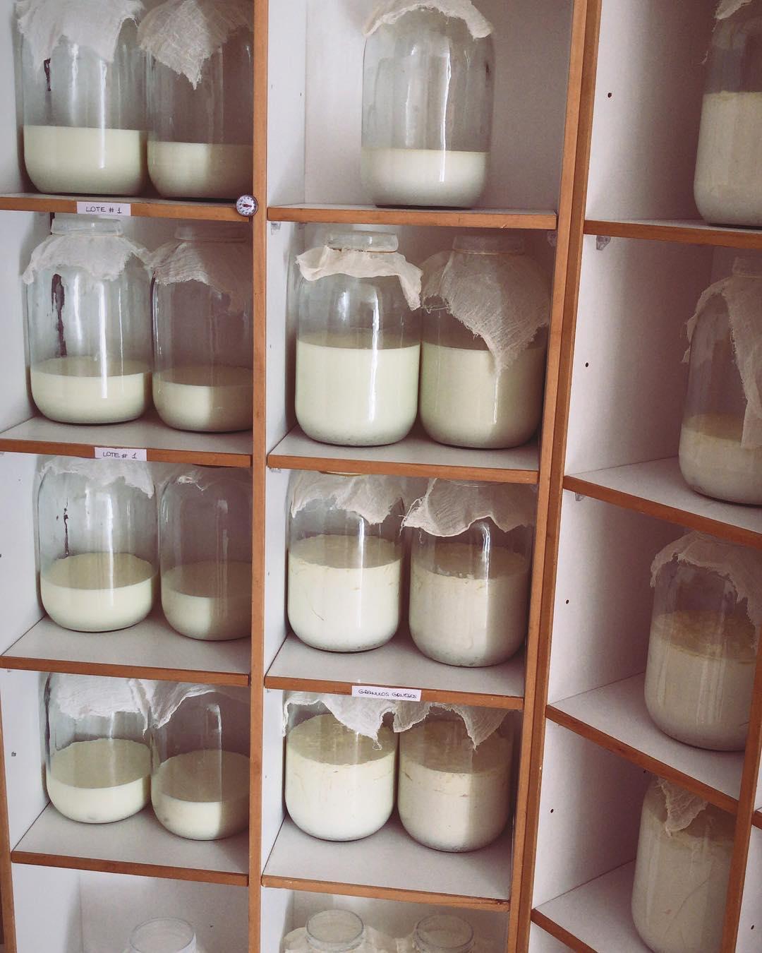 cultivos de kefir de leche